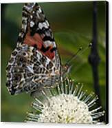 Painted Lady Butterfly Din049 Canvas Print by Gerry Gantt