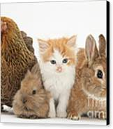 Partridge Pekin Bantam With Kitten Canvas Print