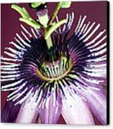 Passion Flower (passiflora Amethystina) Canvas Print by Lawrence Lawry