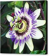 Passion Flower (passiflora Sp.) Canvas Print by Kaj R. Svensson