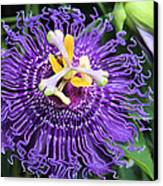 Passionflower Purple Canvas Print by Rosalie Scanlon