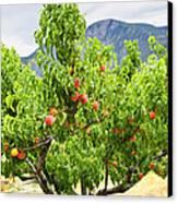 Peaches On Tree Canvas Print by Elena Elisseeva