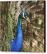 Peacock Display Canvas Print by Richard Garvey-Williams