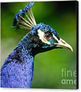 Peacock Portrait Canvas Print by John Kelly