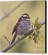Perched White-throated Sparrow Canvas Print by Chris Hill