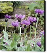 Perennial Cornflowers 'parham' Canvas Print