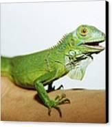 Pet Iguana Canvas Print by Cristina Pedrazzini