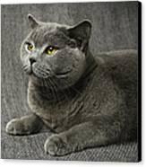Pet Portrait Of British Shorthair Cat Canvas Print by Nancy Branston