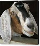 Photogenic Goat Canvas Print