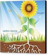 Photosynthesis, Illustration Canvas Print by David Nicholls