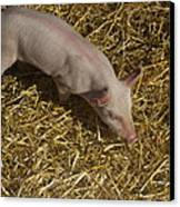 Pig. Yummy Roasted Canvas Print by Michael Clarke JP