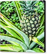 Pineapple Plant Canvas Print by Frank Feliciano