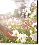 Pink And White Cosmos Flower Canvas Print