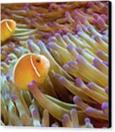 Pink Anemonefish Canvas Print