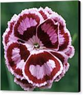 Pink (dianthus 'becky Robinson') Canvas Print by Archie Young