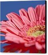 Pink Gerber 2 Canvas Print by Al Hurley