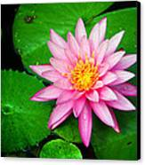 Pink Nymphaea Canvas Print by Lisa  Spencer