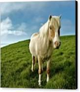 Pony On Mykines Canvas Print