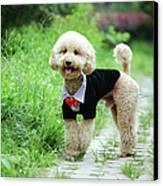 Poodle Wearing Suit Canvas Print