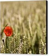 Poppy Flower In Field Of Wheat Canvas Print by John Short