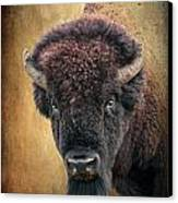 Portrait Of A Buffalo Canvas Print by Tamyra Ayles