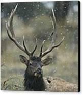 Portrait Of An Elk Or Wapiti Canvas Print by Norbert Rosing