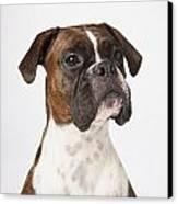 Portrait Of Boxer Dog On White Canvas Print by LJM Photo