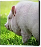 Potbelly Pig Canvas Print