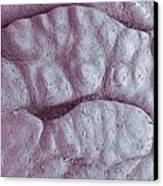 Primate Fingerprint Ridges, Sem Canvas Print