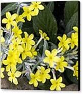 Primula Verticillata Flowers Canvas Print