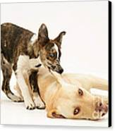 Pup Biting Lab On The Ear Canvas Print by Mark Taylor