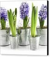 Purple Hyacinths Canvas Print