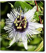 Purple Passionflower Canvas Print by April Wietrecki Green