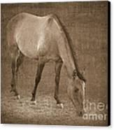 Quarter Horse In Sepia Canvas Print by Betty LaRue