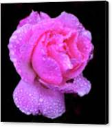 Queen Elizabeth Rose After Heavy Rainfall Canvas Print