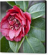 Red Camellia Squared Canvas Print by Teresa Mucha
