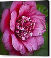 Red Camellia Canvas Print by Teresa Mucha