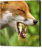 Red Fox Eating A Chick Canvas Print by Duncan Shaw