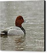 Redhead Duck In Winter Snow Storm Canvas Print