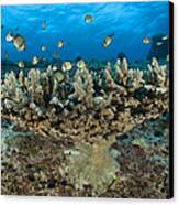 Reticulate Humbugs Gather Under Stone Canvas Print