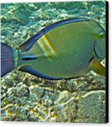 Ringtail Surgeonfish Canvas Print by Michael Peychich