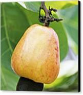 Ripe Cashew Nut Canvas Print