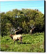 Roaming Elk  Canvas Print by The Kepharts