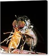 Robber Fly Feeding On A Cockroach Canvas Print by Dr Morley Read
