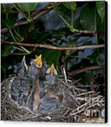 Robin Nestlings Canvas Print by Ted Kinsman