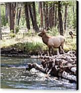 Rocky Mountain Elk Canvas Print by Cindy Singleton