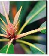 Rosebay Rhododendron Bud Canvas Print
