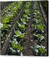 Rows Of Cabbage Canvas Print