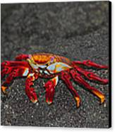 Sally Lightfoot Crab Canvas Print by Tony Beck