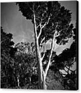 San Francisco Tree Canvas Print by Matt  Trimble